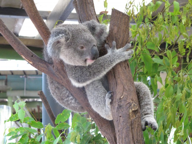 Ein Koala macht es sich im Eukalyptusbaum gemütlich.