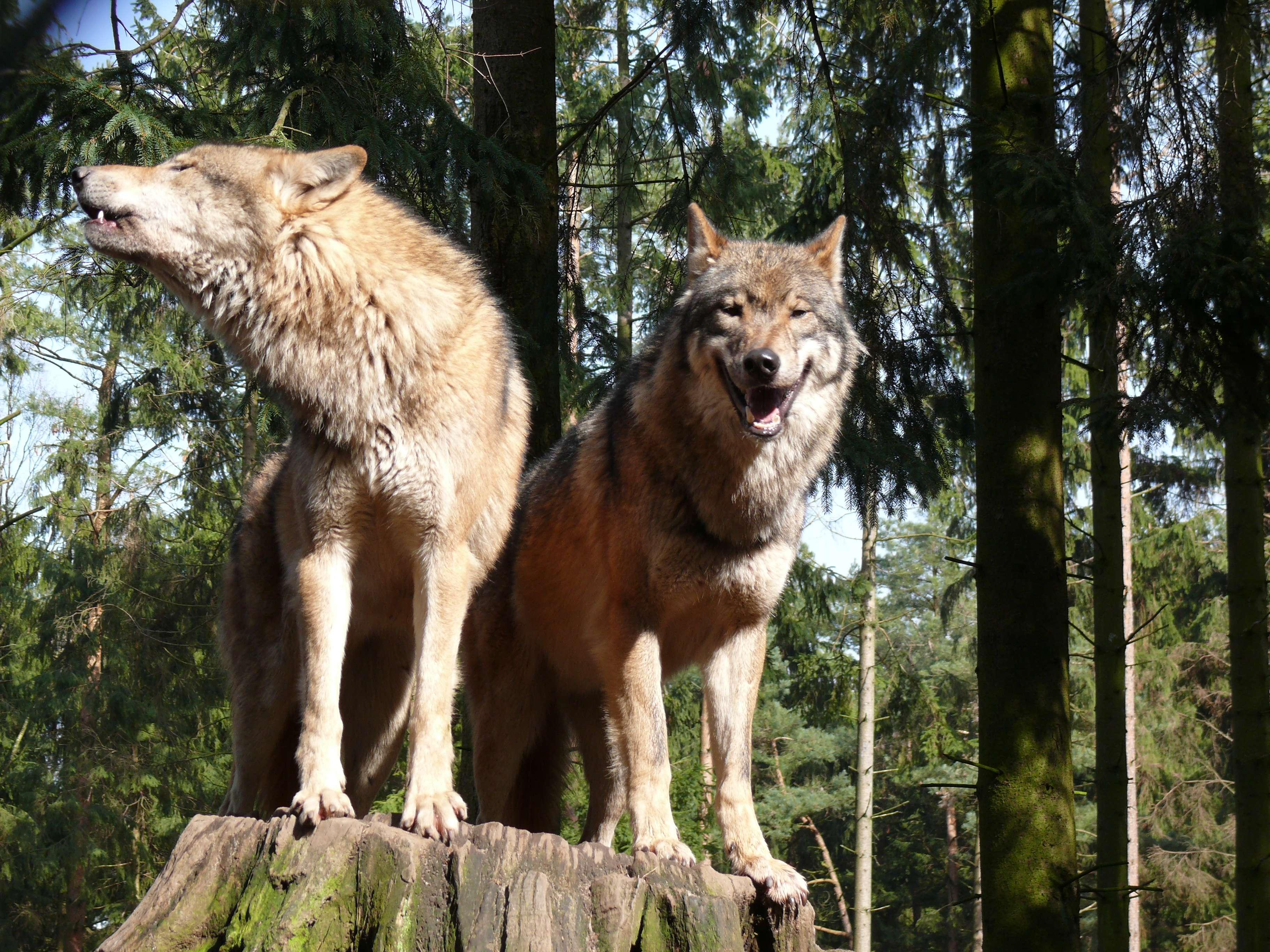 Ein Wolfspaar in freier Wildbahn