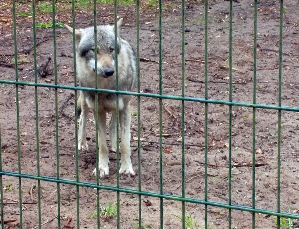 Neugierige Wölfe nah am Zaun im Wolfcenter Dörverden