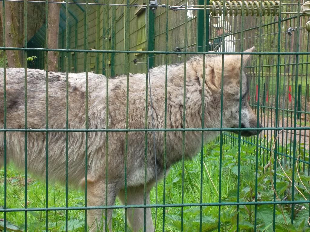 Ein neugieriger Wolf im Wolfcenter Dörverden
